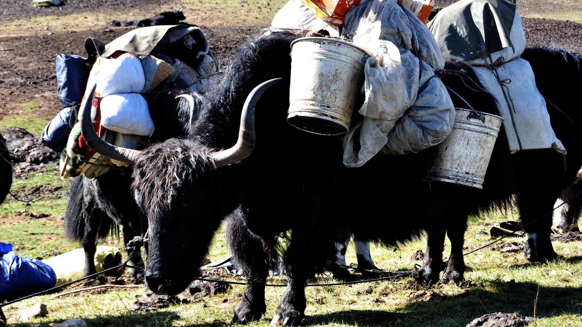 Extrait - Tibet : terre des braves - Geneviève Brault
